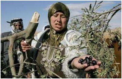 ______Palestina_olivo2
